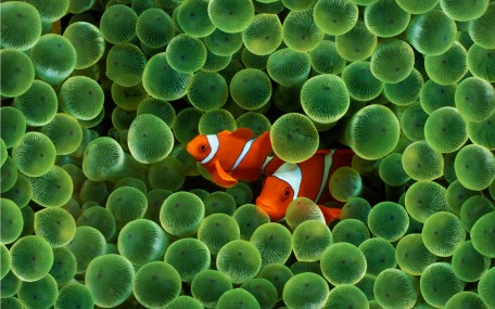 clown-fish-wallpapers_5182_2560x1600